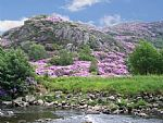 Rhododendron time In Beddgelert